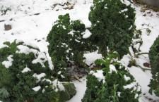 Boerenkool in de sneeuw