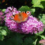 Buddleja – Vlinderboom snoeien
