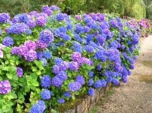 Hydrangeaceae in bloei foto door Semnoz