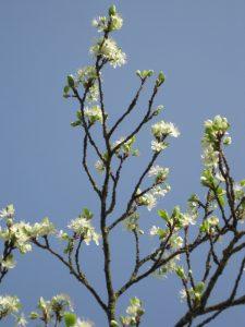 Bloeiende pruim tegen blauwe lucht