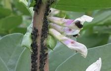 Bladluis infectie op tuinbonen