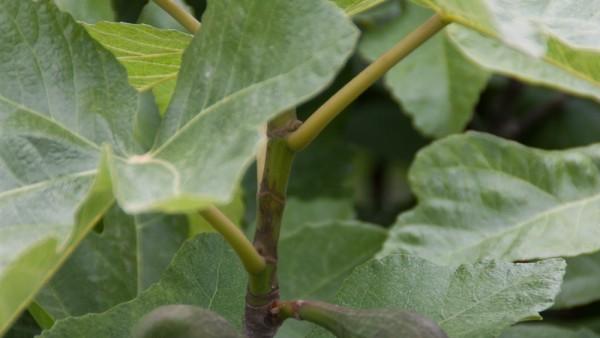 Gevaarlijke insecten in Spanje en Italie bedreigen de olijfolie