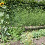 Laatste asperges oogsten