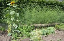 Rij met volgroeide aspergeplanten