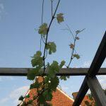 Druiven: De zomersnoei