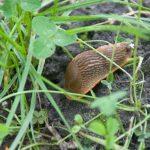 Slakken verstopen zich tussen onkruid