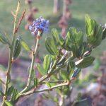 Om midden januari een bloeiende amerikaanse sering in de tuin te zien is wel bijzonder.