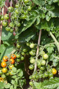 Tomaten voorzaaien