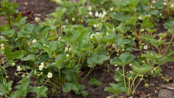 Rijke bloei bij aardbeien - close up