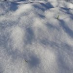 Knoflook in de sneeuw