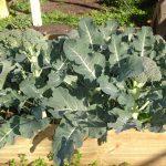 Broccoli: Laatste zomerzaai