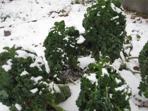 Boerenkool vers uit de tuin
