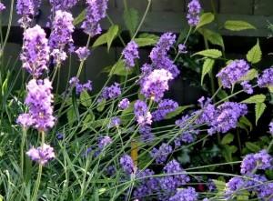 Lavendel Snoeien