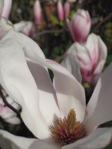 De magnolia bloeit al vroeg in het jaar.