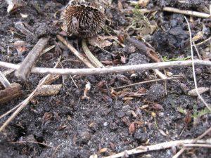 Veel kruiden van ruigtes produceren veel zaden die in het vroege voorjaar beginnen te kiemen.