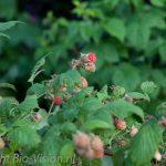 Frambozen uit de tuin