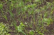 Nu in de vollegrond zaaien: koriander, Prei, Bosui en Ui