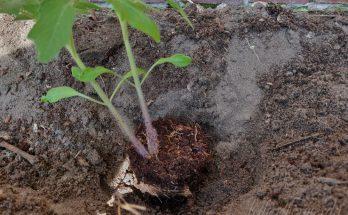 Voorgezaaide tomaten uitplanten